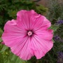 another shade of lavatera