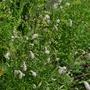 Sanguisorba 'White Tanna' - 2016 (Sanguisorba 'White Tanna')