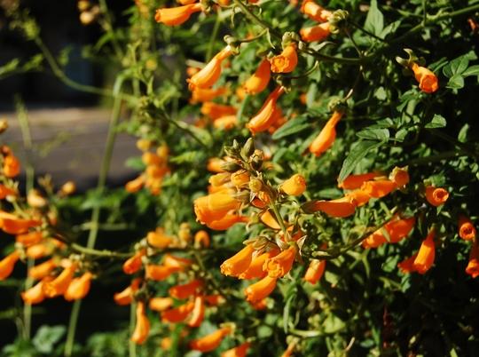 Eccromocarpus scaber (Eccremocarpus scaber (Chilean glory flower))