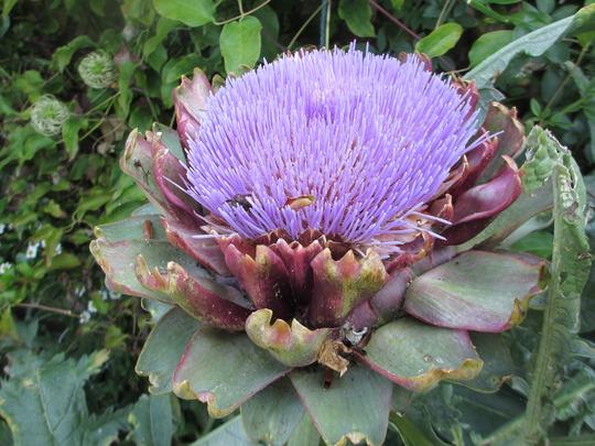Globe Artichoke flower (for Dawnsaunt) (Cynara scolymus (Artichoke Imperial Star))