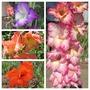 Gladiolus galore (Gladiolus)