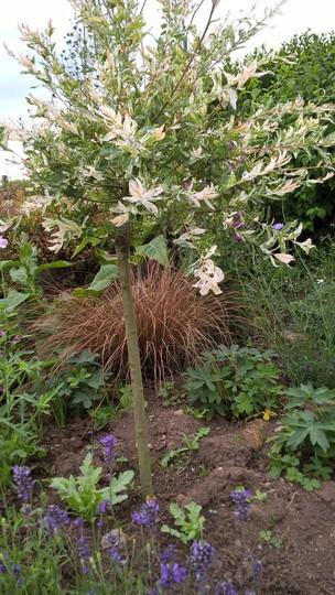 Flamingo Willow standard (Salix integra 'Hakuro-nishiki')