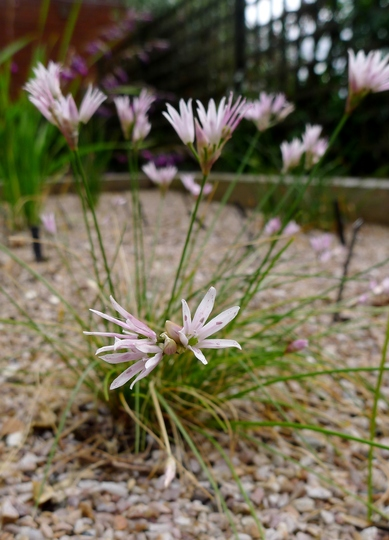Allium mairei - 2016 (Allium mairei)