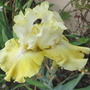 "Bearded Iris ""Again and Again"" flowering Now. (Iris germanica (Orris))"