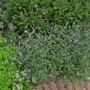 Verbena officinalis var grandiflora 'Bampton' - 2016 (Verbena officinalis)