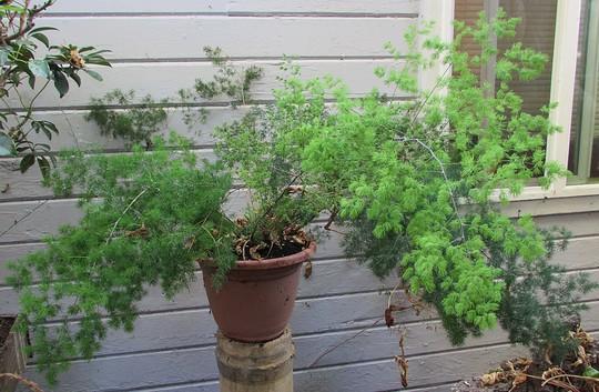 Pom Pom Asparagus. (Asparagus retrofractus)