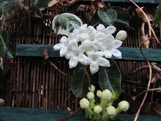 African Jasmine (Stephanotis floribunda)