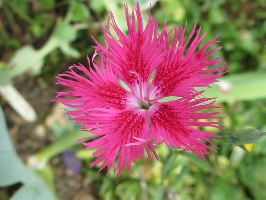 Dianthus superbus (Dianthus superbus (Crimsonia Pink))