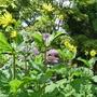 Silphium perfoliatum - 2016 (Silphium perfoliatum)