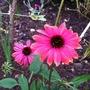Echinacea_12_7_15