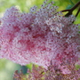 Queen-Of-The-Prairie (Filipendula rubra (Queen of the prairies))