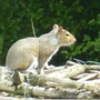 Squirrel seen today on our walk.