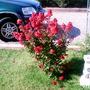 Red Crape Myrtle (Lagerstroemia indica (Astromelia Blanca))