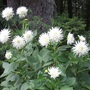 White cactus dahlia