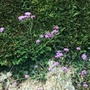 Verbena bonariensis (Verbena bonariensis (Verbena))