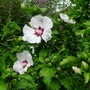 Hibiscus_syriacus_red_heart_2016