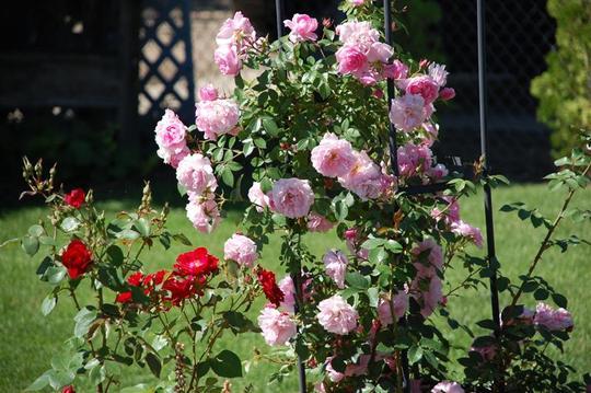 "Explorer Rose ""John Davis"""