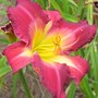 Daylily 'Clean Water Act' x 'White Eyes Pink Dragon'