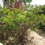 Gollum Jade plant (Crassula ovata Gollum)