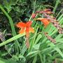 Crocosmia 'Anne Marie' for my File (Crocosmia x crocosmiiflora (Montbretia) 'Anne Marie')