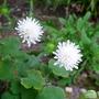 Knautia arvensis forma albiflora - 2016 (Knautia arvensis)