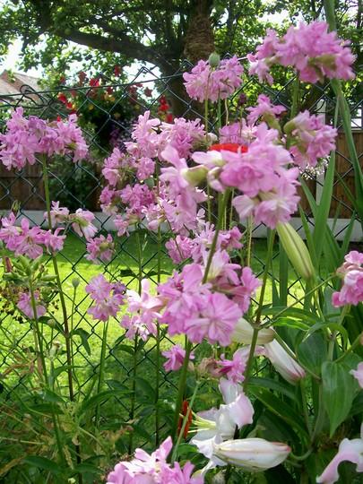 Soapwort 'Rosea Plena' (Saponaria officinalis)