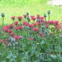 Monarda with Poppy Pods