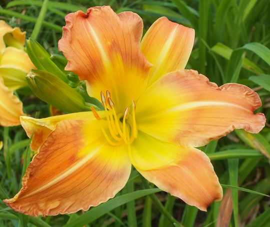 Daylily (Memories of Oz x Ottis Leonard) x(Summer Star x Heavenly Curls)