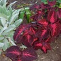 Red Coleus and Lamb's Ear