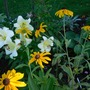 Black Eyed Susan Pale yellow Lilies