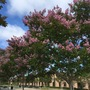 Lagerstoemia indica 'Pink' - Crape Myrtle  (Lagerstoemia indica 'Pink')