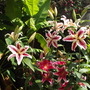 "Oriental Lilies ""Tiger Wood""  & "" Star Gazer"""