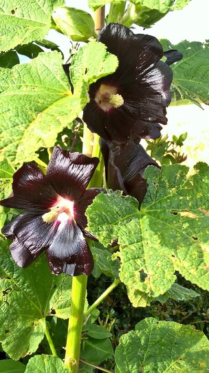 Hollyhock, black. (Althaea rosea)