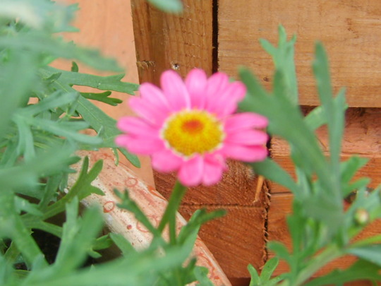 Peeking out (Marguerite)