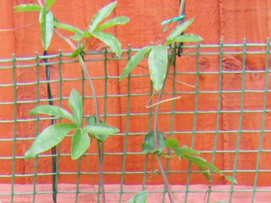 Passion flower starting to grow (Passiflora caerulea)