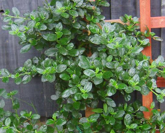 Californian Lilac (Ceanothus burkwoodii (California lilac))