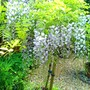 Wisteria  (Wisteria floribunda (Japanese Wisteria))