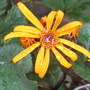 Ligularia dentata (Golden groundsel)