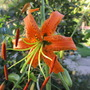 Lillium henryii (Lilium henryi (Lily))