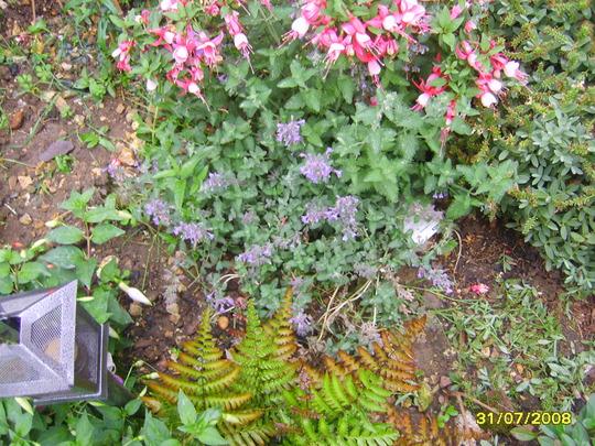 Nepeta racemosa (Nepeta racemosa)