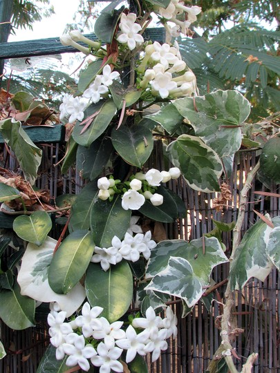 Another Stephanotis bloom. (Stephanotis floribunda)