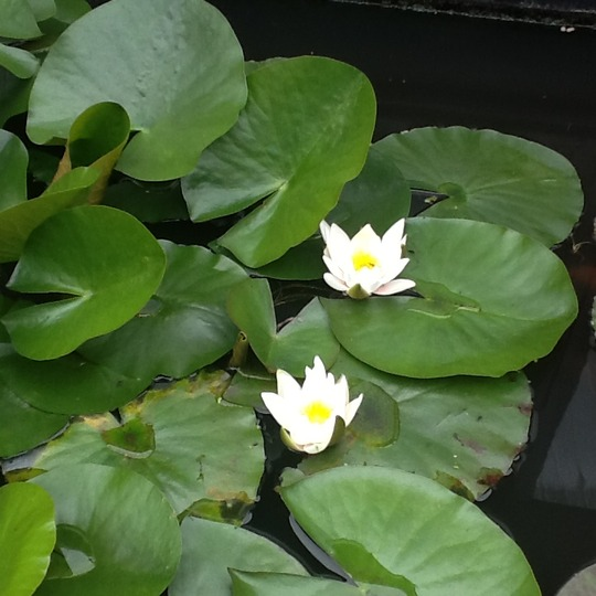 Pond lily (Nymphaea alba (Nenufar Blanco))