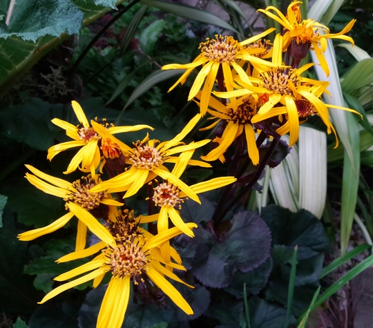 Ligularia Britt Marie Crawford for Siris! (Ligularia dentata)