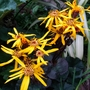 Ligularia Britt Marie Crawford for Siris! (Ligularia dentata)