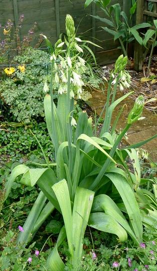 Galtonia viridiflora - 2016 (Galtonia viridiflora)