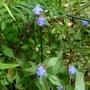 Ceratostigma_willmottianum_forest_blue_2016