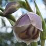 Gladiolus Papilio