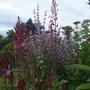 Lobelia Tupa, Salvia Sclarea and Eupatorium (Lobelia tupa (Devils Tobacco))