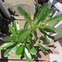 Plumeria obtusa. Obtusive to bloom. (Plumeria obtusa)