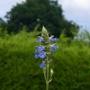 Salvia uliginosa - 2016 (Salvia uliginosa)